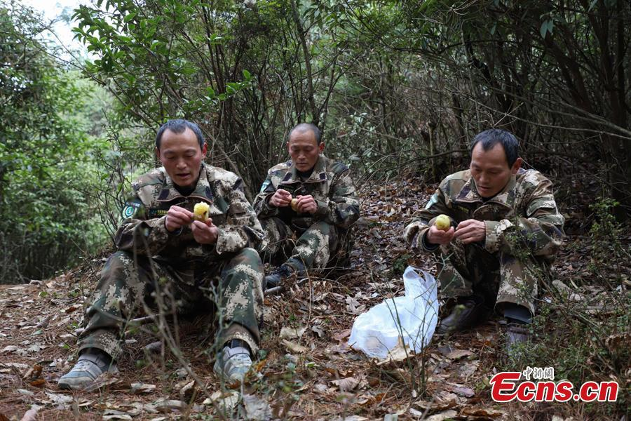 Triplet brothers eat potatoes for lunch during a break from patrolling the Gonglongping state-owned tree farm in Bijie City, Guizhou Province, March 10, 2019. Influenced by their father, the three brothers began to work as rangers in the farm in 1981. The tree farm covers an area of 53,300 mu (3,553 hectares) and the brothers usually walk approximately 30 kilometers on average per working day. Guizhou has about 3,000 registered rangers who work in tree farms totalling 5.55 million mu. (Photo: China News Service/Qu Honglun)