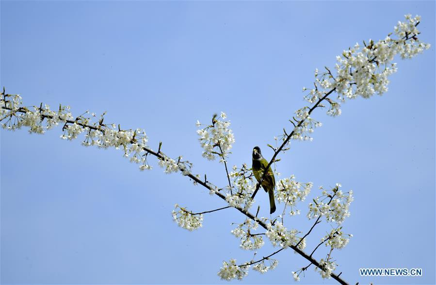 A bird is seen on a flowering tree at Changyangou Village of Wanzhai Township in Xuan\'en County, central China\'s Hubei Province, March 14, 2019. (Xinhua/Song Wen)