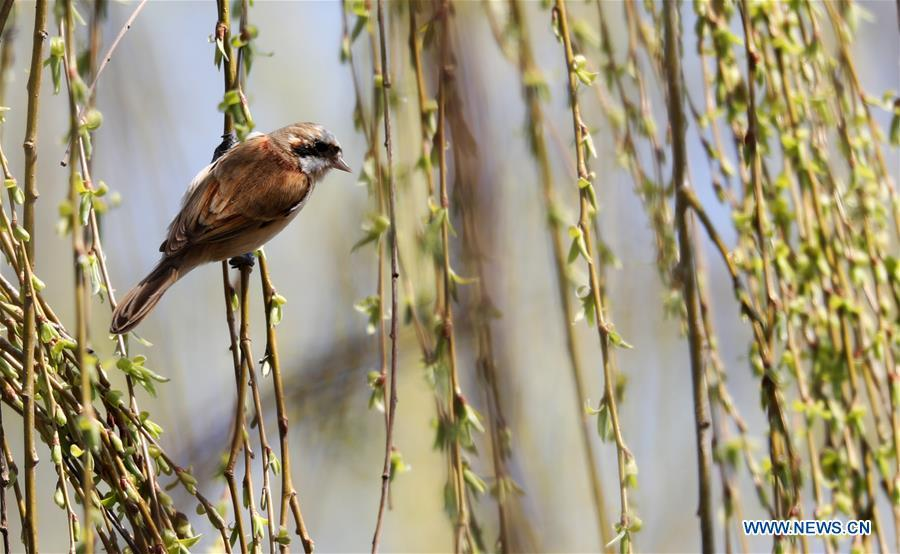 A bird is seen on a willow in Tancheng County in Linyi, east China\'s Shandong Province, March 14, 2019. (Xinhua/Zhang Chunlei)