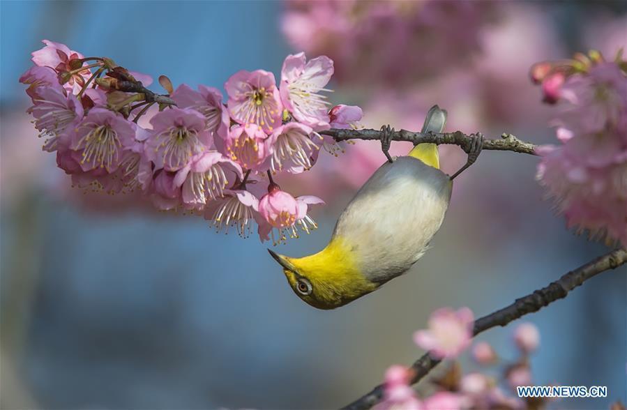 A bird is seen on a flowering tree at a scenic spot in Wuxi, east China\'s Jiangsu Province, March 14, 2019. (Xinhua/Pan Zhengguang)