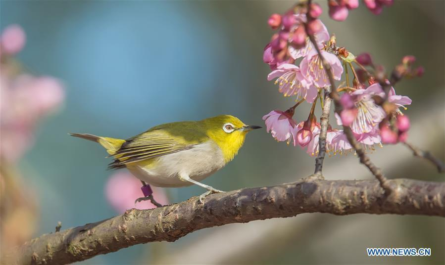 A bird is seen on a flowering tree at a scenic spot in Wuxi, east China\'s Jiangsu Province, March 14, 2019. (Xinhua/Pan Zhengguang)