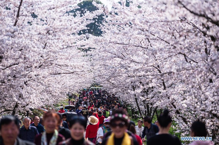 Blooming cherry blossoms in Gui'an New Area of southwest China's Guizhou