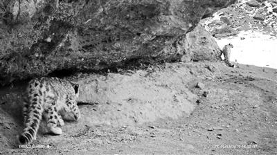 黄河源首次拍到雪豹视频