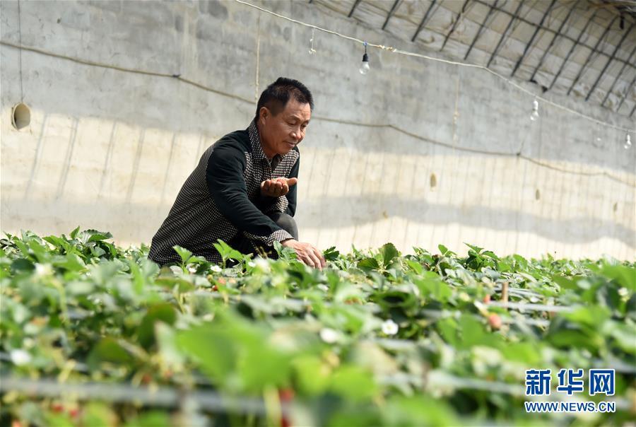 (經濟)(1)草莓種出鄉村致富路
