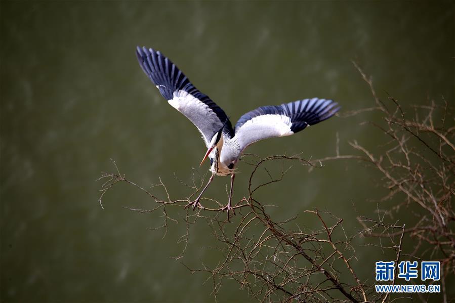 (图文互动)(2)数百只苍鹭在山西平陆黄河湿地筑巢安家