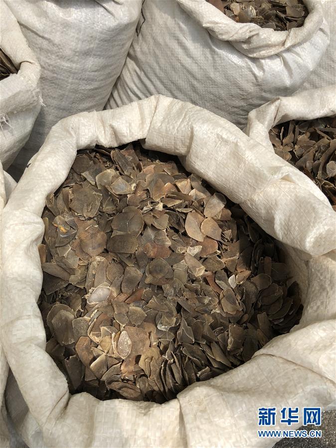 (XHDW)(1)新加坡查获近13吨穿山甲鳞片