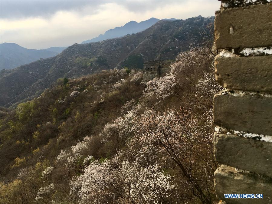 (Beijingcandid)CHINA-BEIJING-GREAT WALL-SPRING SCENERY (CN)