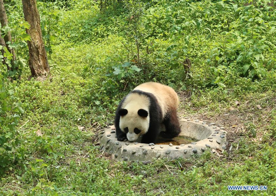 CHINA-SICHUAN-GIANT PANDA-RUSSIA-QUARANTINE (CN)