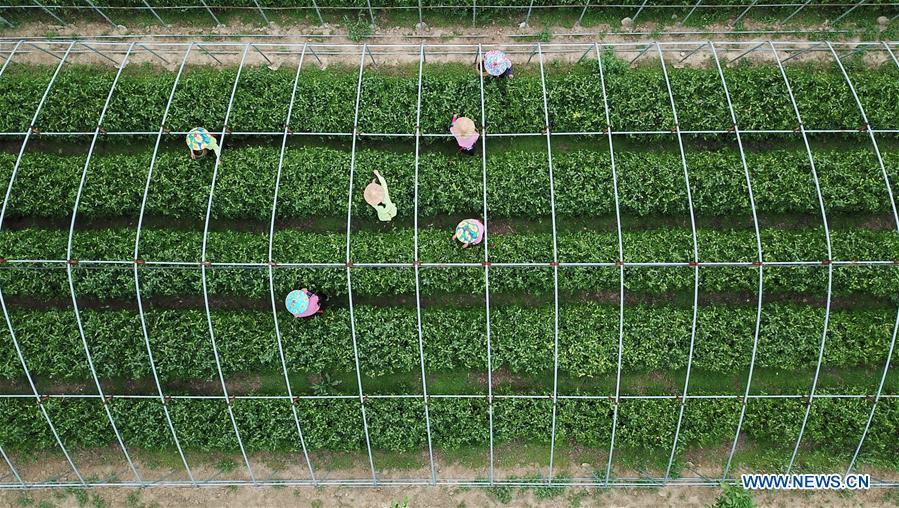 CHINA-HEBEI-LINCHENG-TEA PLANTING (CN)