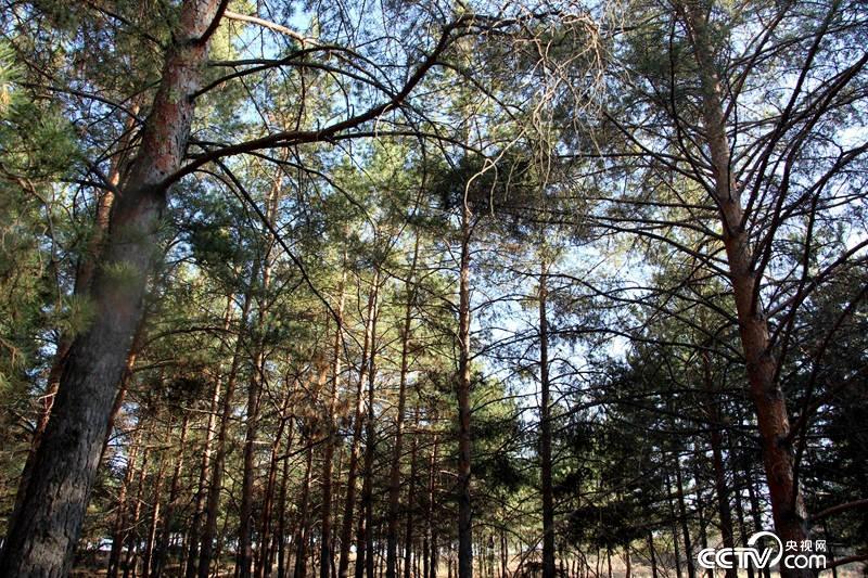 陕西省治沙研究所里的樟子松林(记者 王甲铸 摄)