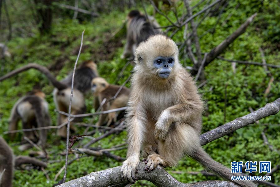 (环境)(1)湖北神农架金丝猴得到有效保护