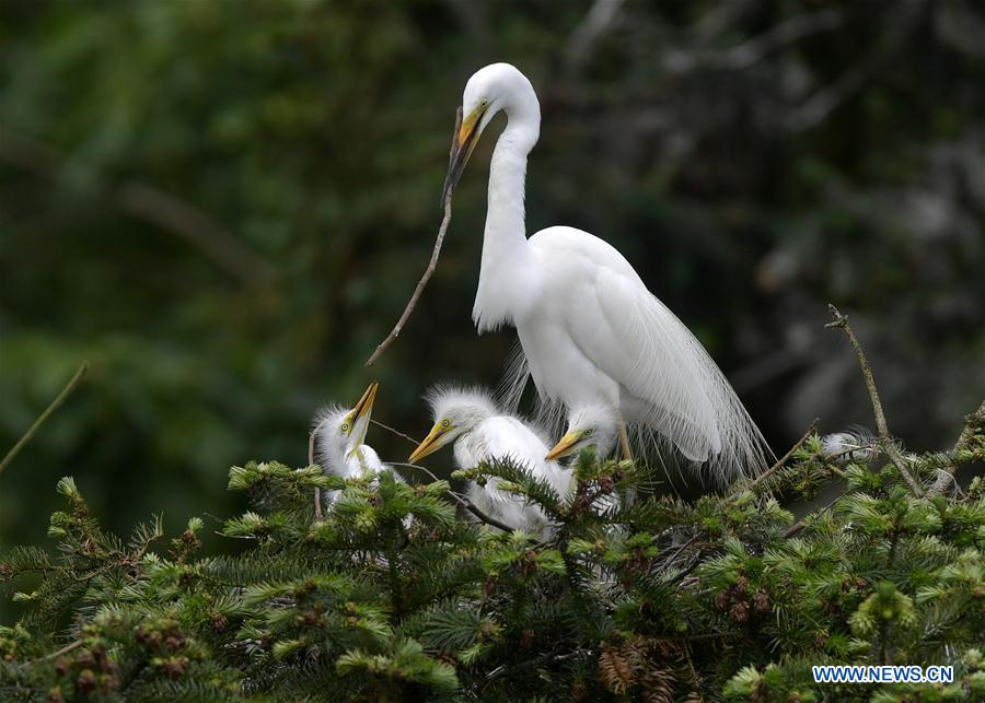 Ecological protection of Xiangshan forest park creates friendly environment for egrets