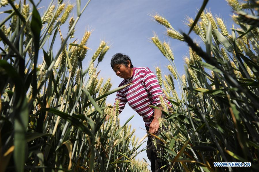 Farmers work on day of traditional Chinese solar term Xiaoman