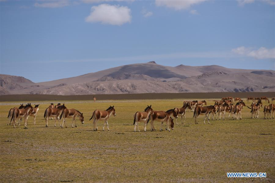CHINA-TIBET-WILD ANIMALS (CN)