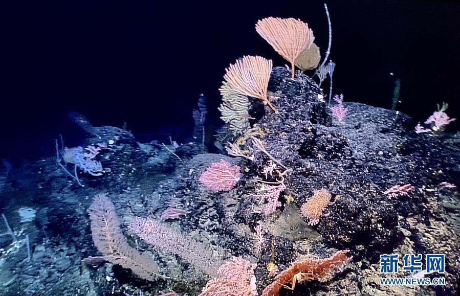 """""""发现""""号遥控无人潜水器拍摄到""""海底花园"""""""
