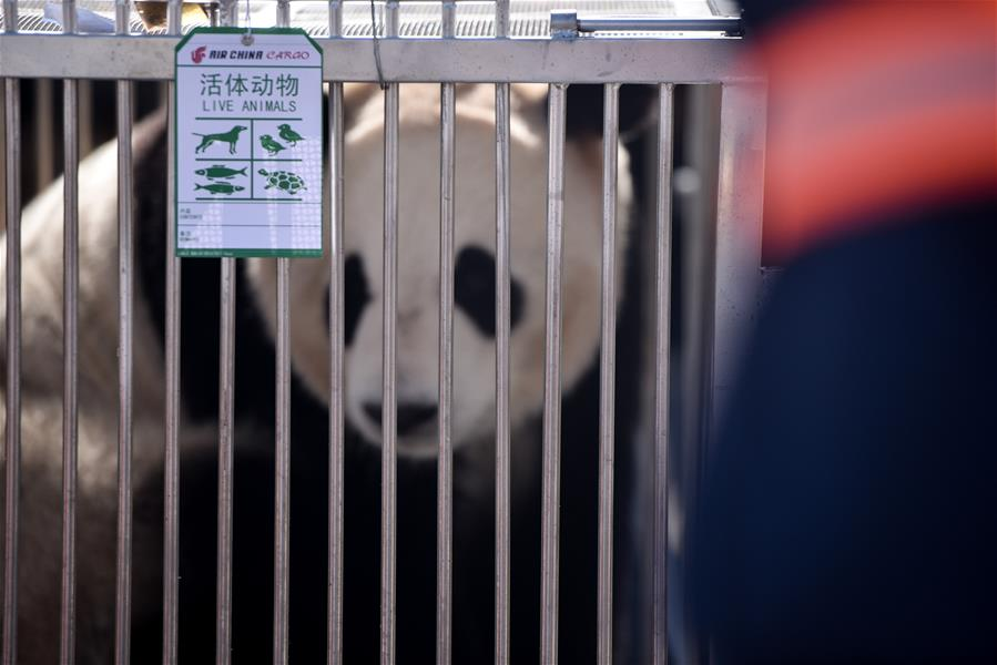 CHINA-QINGHAI-XINING-GIANT PANDAS (CN)
