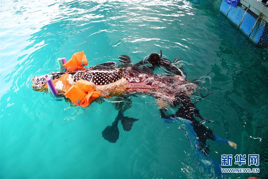 #(环境)(2)三亚受伤搁浅领航鲸死亡