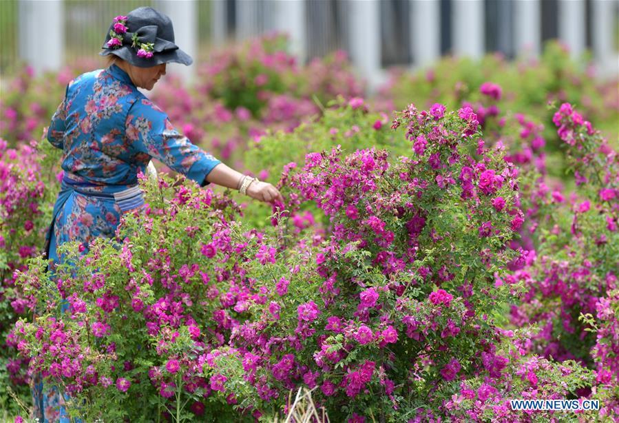 CHINA-TIBET-FLOWER ECONOMY (CN)