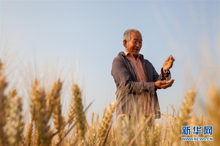 (聚焦中国经济亮点·图文互动)(5)夏粮收获近八成 丰收已成定局